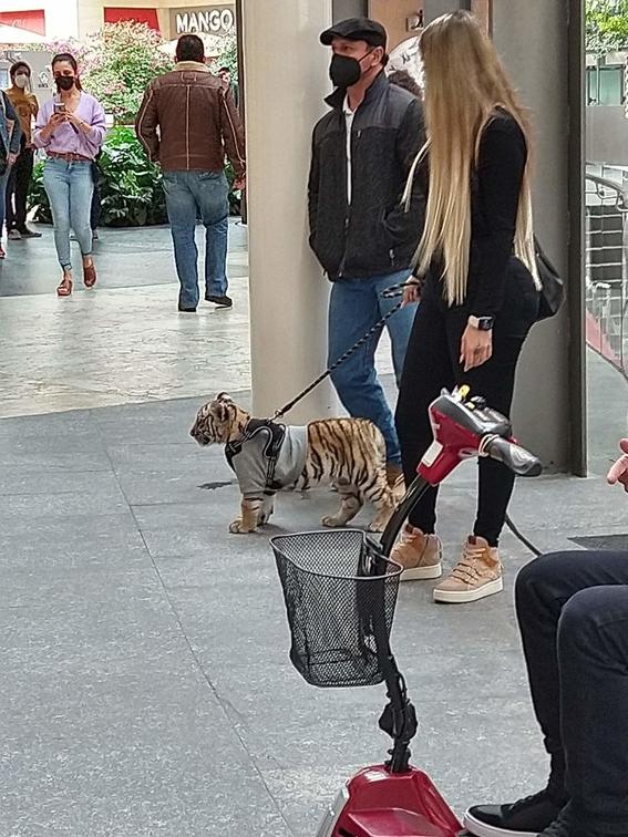 captan a mujer paseando a un cachorro de tigre en antara 1