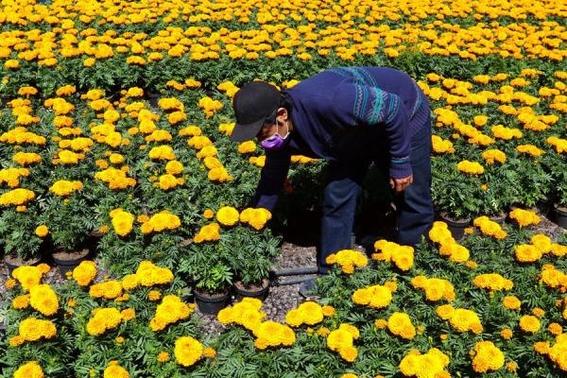 cempasuchil se vende poco a un mes para dia de muertos en mexico 1
