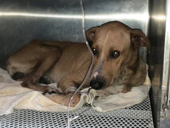 exigen justicia para perro romeo atravesado con flecha culiacan sinaloa 1