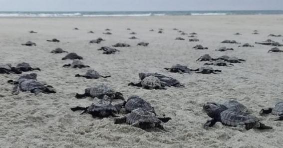 historico nacen miles de tortugas en sonora gracias a la pandemia 1