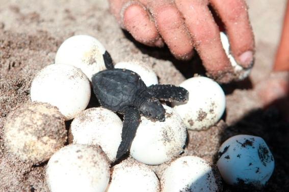 historico nacen miles de tortugas en sonora gracias a la pandemia 2