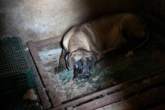 rescatan perros de granjas de carne en corea del sur 1