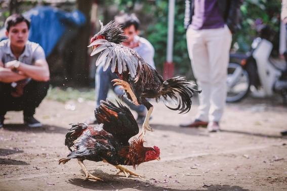 gallo de pelea mata a policia durante redada en filipinas 3