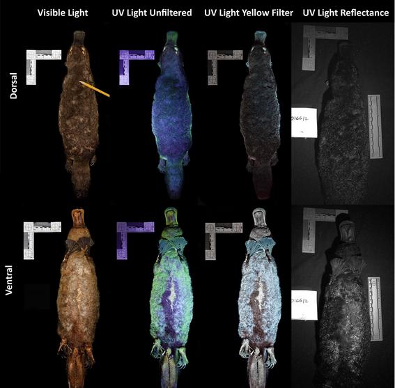 descubren que el pelaje del ornitorrinco se ilumina con luz ultravioleta 1
