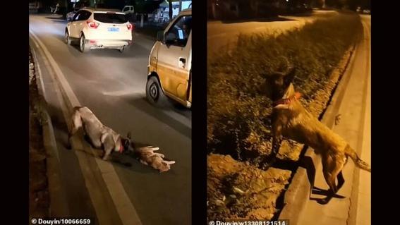 perro intenta revivir a un gato que fue atropellado en la carretera 1