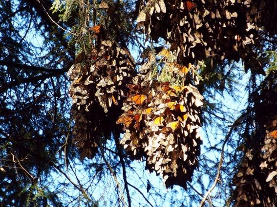 captan mariposa monarca etiquetada en iowa en guanajuato 1