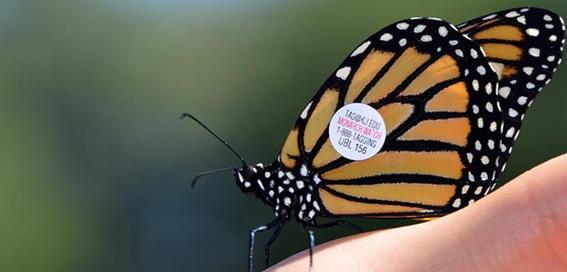 captan mariposa monarca etiquetada en iowa en guanajuato 2
