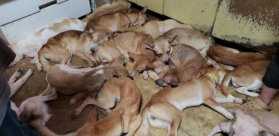 perros hacinados japon 2