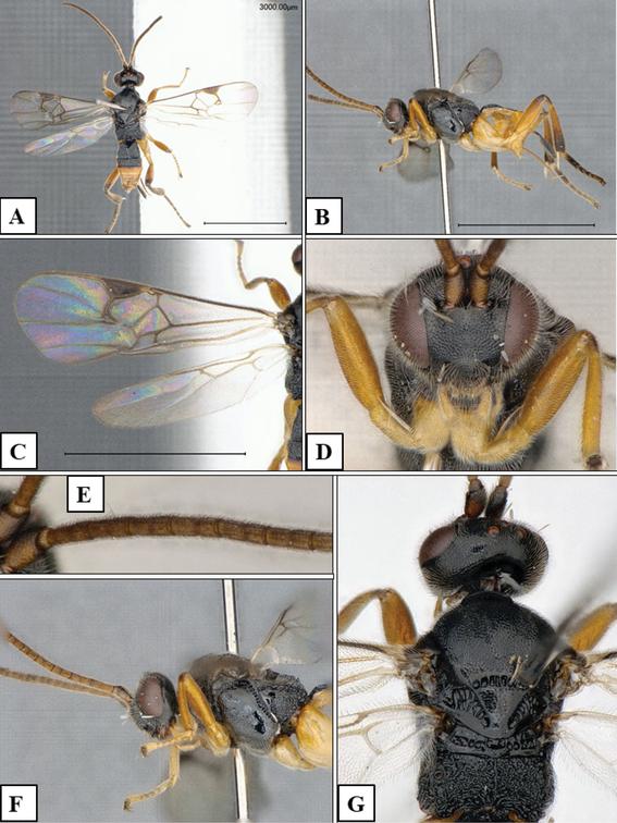 godzilla la nueva especie de avispa descubierta en japon 1