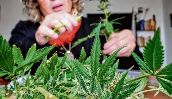 aprobacion de la ley que regula el cannabis en mexico 3