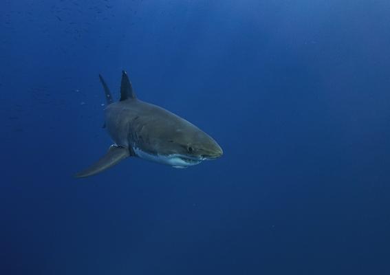 las orcas culpables de la escasez de tiburon blanco en la costa de sudafrica 2