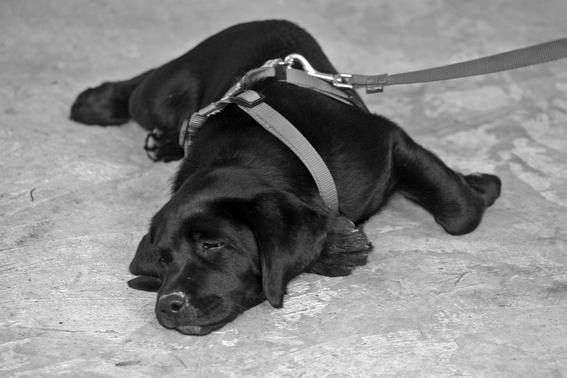 perros amarrados en la azotea prohibiran tener perros amarrados en coahuilas perros maltratados perros que solo estan en azotea o terrenos bal 2