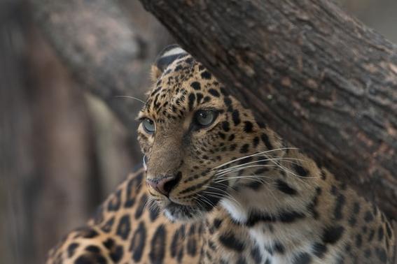 tren maya proteccion jaguar medio ambiente 1