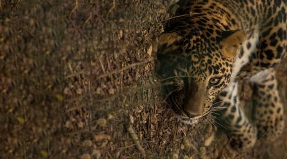 tren maya proteccion jaguar medio ambiente 3