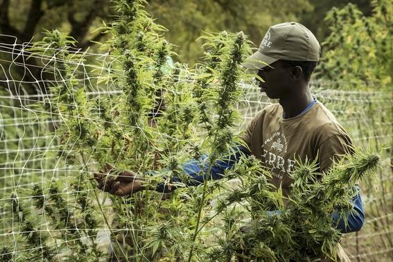 onu reconoce oficialmente propiedades medicinales del cannabis 2
