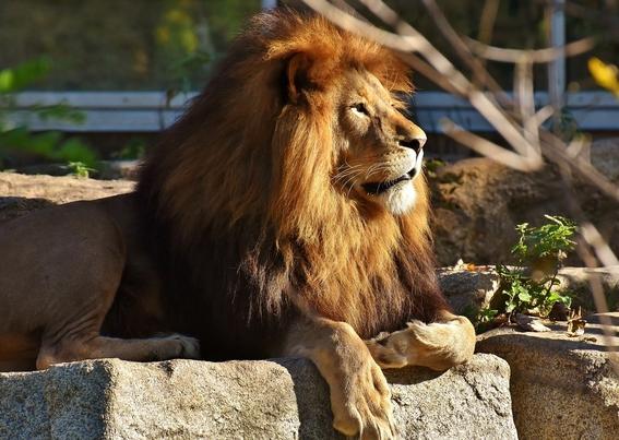 cuatro leones dan positivo a covid19 en zoologico de barcelona 1