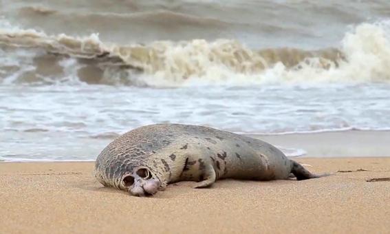 encuentran cerca de 300 focas muertas a orillas del mar caspio en rusia 2
