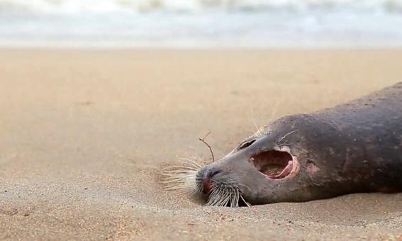 encuentran cerca de 300 focas muertas a orillas del mar caspio en rusia 3