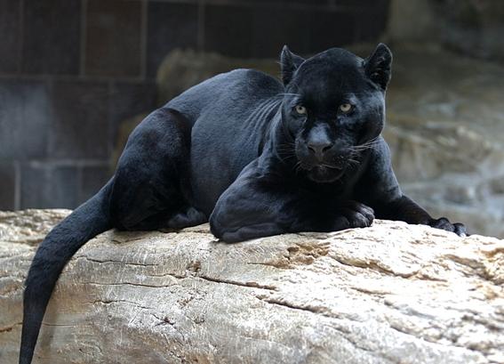 nacen dos jaguares melanicos en zoologico de morelia 1