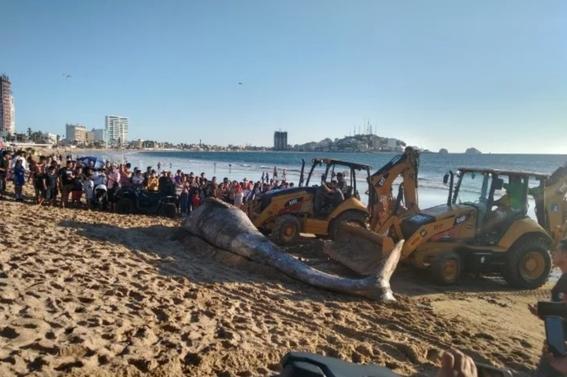 entierran a ballena jorobada que encallo muerta en playa de mazatlan 2