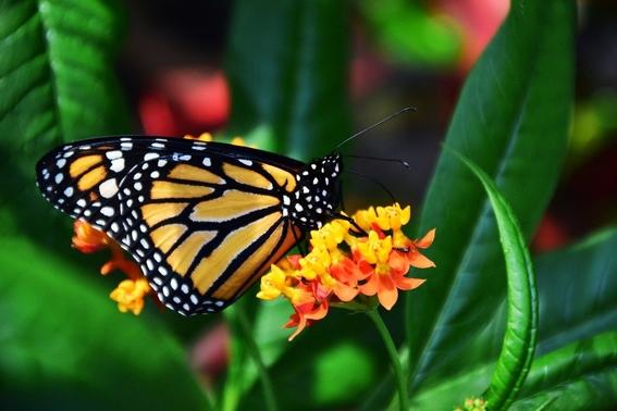 estados unidos evita declarar en peligro de extincion a la mariposa monarca 1