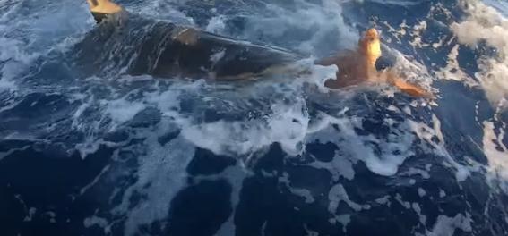 pescadores ayudan a tortuga a escapar de las fauces de un tiburon 1