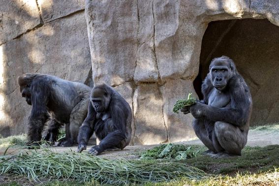ponen en cuarentena a gorilas en zoo de san diego tras contraer covid19 1