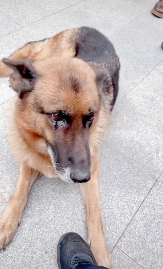 perra policia jubilada llora entrenador china video viral 1
