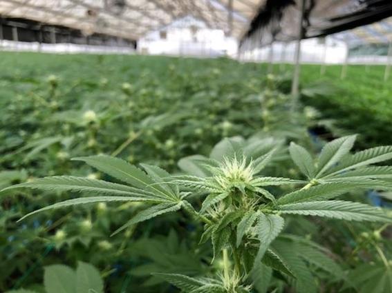 regulacioncannabispodriasalvareconomiamexicocovid 1