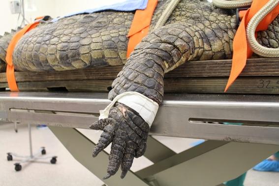fotos salvan con cirugia a cocodrilo que se trago un zapato 1