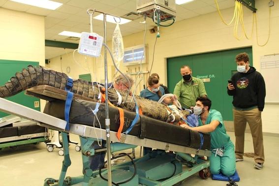 fotos salvan con cirugia a cocodrilo que se trago un zapato 3
