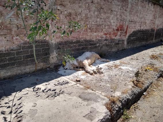 abandonan cadaver de leon africano en plena calle en iztapalapa 1