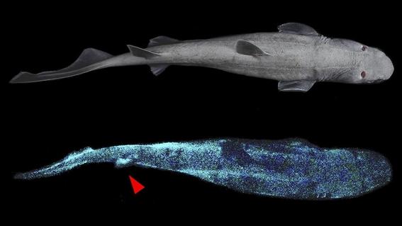 fotos encuentran el tiburon luminoso mas grande del mundo 1