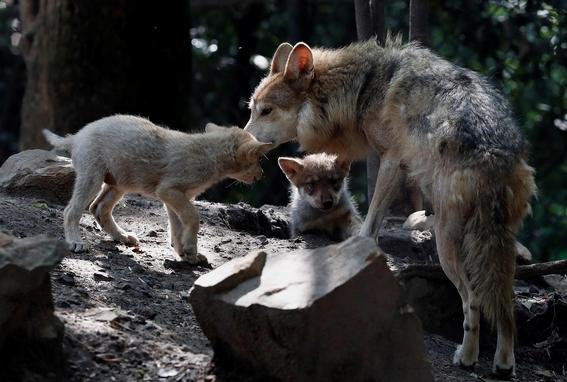 lobo mexicano aullidos chapultepec 2