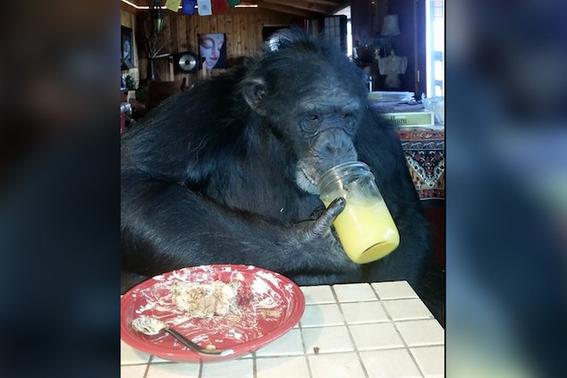 matan chimpance oregon 1