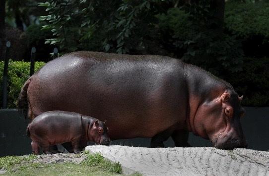 hipopotamo hipopotamo bebe zoologico especie en peligro de extincion guadalajara 1