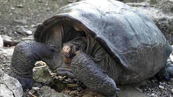 tortuga que se creia extinta es encontrada en la isla galapagos