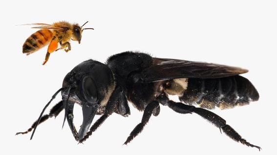 abeja gigante wallace