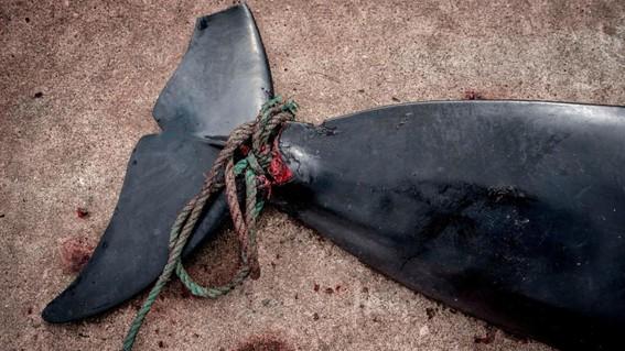 asi es la lucha para liberar orcas y ballenas en rusia