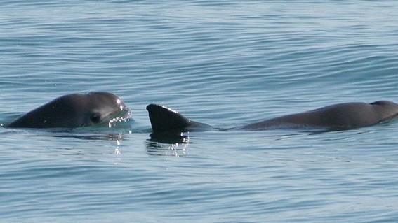 desvian 72 mdp para proteccion de la vaquita marina