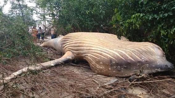 hallan ballena muerta en selva del amazonas