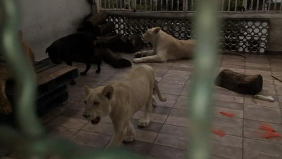 profepa asegura 3 leones en casa de cdmx