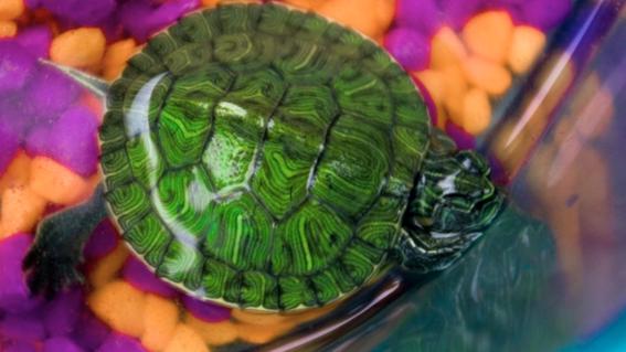 tortugas japonesas se vuelven plaga en mexico