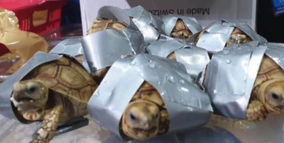 mas de mil 500 tortugas fueron encontradas amarradas en una maleta