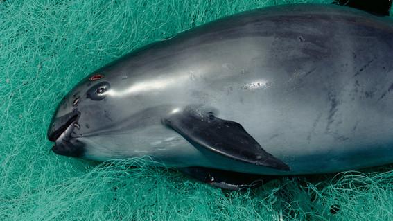 quedan 22 ejemplares vaquita marina podria extinguirse en pronto