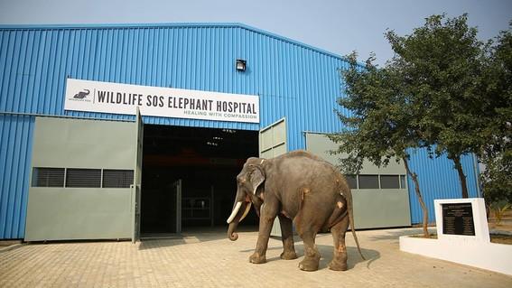 elefante entrando al hospital de wildlife sos
