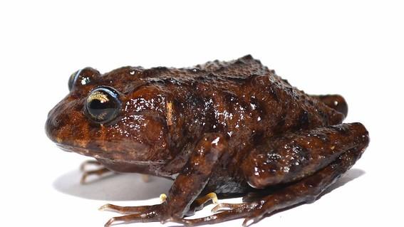 cabeza de rana rana con gran cabeza nueva rana nueva especie de rana descubren nueva especie de rana hallan nueva especie de rana con cabeza
