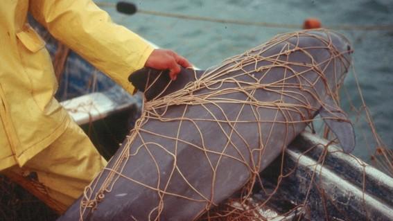 vaquita marina podria extinguirse este mismo ano alerta greenpeace