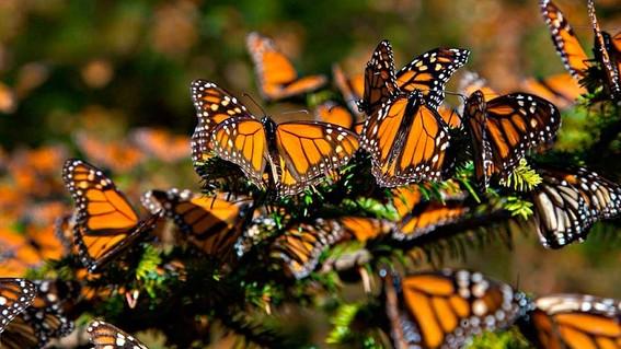 mariposas monarca que llegan a mexico