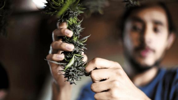 revocan lineamientos en control sanitario cannabis